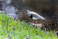 """Zuidelijke chilensis van Kievitvanellus op het meer in Barra da Tijuca Forest, Rio de Janeiro Brazil â⠂¬Å """"quero-Queroâ⠂¬Â  stock foto's"""