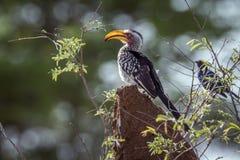 Zuidelijke geel gefactureerd hornbill in het Nationale park van Kruger, Zuiden A Royalty-vrije Stock Fotografie