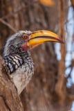 Zuidelijke geel-Gefactureerde Hornbill Stock Afbeeldingen