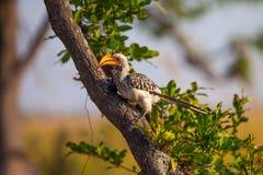 Zuidelijke geel-Gefactureerde Hornbill in Botswana Royalty-vrije Stock Fotografie