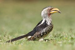 Zuidelijke Geelsnaveltok, Southern Yellow-Billed Hornbill, Tockus leucomelas, Geelsnaveltok royalty free stock photography
