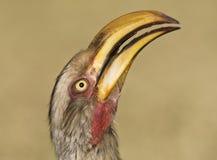 Zuidelijke Geelsnaveltok, Southern Yellow-Billed Hornbill, Tockus leucomelas, Geelsnaveltok stock photography