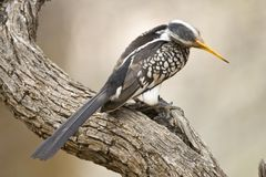 Zuidelijke Geelsnaveltok, Southern Yellow-Billed Hornbill, Tockus leucomelas, Geelsnaveltok stock photos