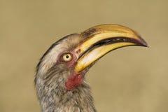 Zuidelijke Geelsnaveltok, Southern Yellow-Billed Hornbill, Tockus leucomelas, Geelsnaveltok royalty free stock images