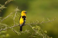 Zuidelijke Gele Grosbeak, vogel van Zuid-Amerika, Ecuador Stock Fotografie