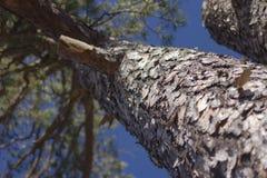 Zuidelijke Gele Pijnboom Royalty-vrije Stock Foto's