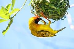 Zuidelijke Gemaskeerde Weaver Bird Ploceus-velatus Afrikaanse Wever Stock Foto