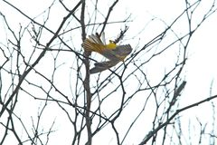 Zuidelijke gemaskeerde wever in een boom stock afbeelding