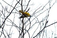 Zuidelijke gemaskeerde wever in een boom royalty-vrije stock afbeelding