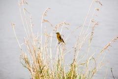 Zuidelijke gemaskeerde weversvogel, Ploceus-velatus stock foto