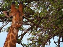 Zuidelijke Giraf Stock Afbeeldingen