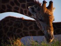 Zuidelijke Giraf stock fotografie