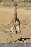 Zuidelijke Giraf, Zuid-Afrika Royalty-vrije Stock Foto's