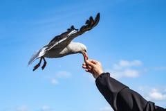 Zuidelijke grijze meeuw die en een stuk van brood vliegen nemen Ushuaia, Argentini? stock foto