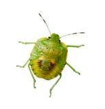 Zuidelijke groen stinkt insect royalty-vrije stock afbeeldingen