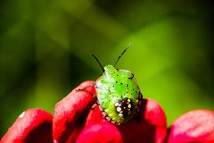 Zuidelijke groen stinkt insectenlarve op rode bloem Royalty-vrije Stock Foto