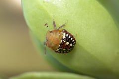 Zuidelijke Groene medio-instar Schildwants Royalty-vrije Stock Fotografie