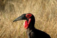 Zuidelijke grond-Hornbill Stock Foto