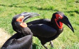 Zuidelijke grond hornbills royalty-vrije stock foto