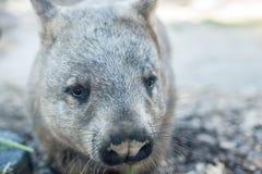 Zuidelijke harig-Besnuffelde Wombat royalty-vrije stock foto's