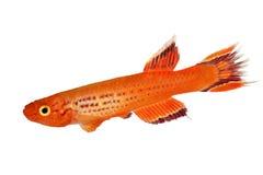 Zuidelijke Hjersseni gouden die het Aquariumvissen van Killiaphyosemion op Wit worden geïsoleerd stock fotografie