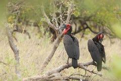 Zuidelijke Hoornraaf, sydlig Mala-hornbill, Bucorvus leadbea arkivbilder