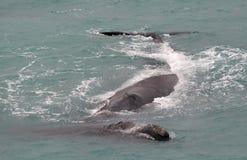 Zuidelijke juiste walvissen Stock Afbeelding