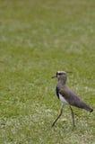 Zuidelijke Kievit (chilensis Vanellus) Stock Afbeelding