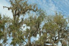 Zuidelijke levende eik Stock Fotografie