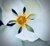 Zuidelijke Magnoliabloei royalty-vrije stock foto