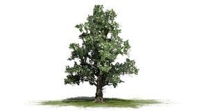 Zuidelijke Magnoliaboom met bloesems vector illustratie