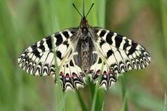 Zuidelijke Pijpbloemvlinder, Zuidelijke Slinger, Zerynthia polyxen royalty-vrije stock foto's