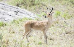Zuidelijke Reedbuck Redunca die zich in Borstelige Habitat bevindt royalty-vrije stock foto's