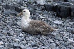 Zuidelijke reuzestormvogel in Antarctica Royalty-vrije Stock Fotografie