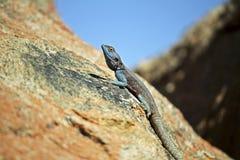 Zuidelijke Rotsagama hagedis, Namibië stock fotografie