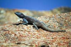 Zuidelijke Rotsagama hagedis, Namibië Stock Afbeeldingen