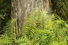 Zuidelijke schildvarens bij basis van cipresboom, Florida Everglade royalty-vrije stock afbeelding
