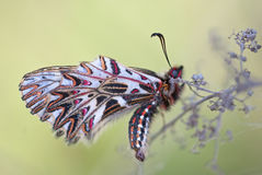 Zuidelijke slinger/polyxena van Osterluzeifalter/Zerynthia- stock fotografie