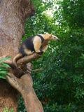 Zuidelijke tamandua op boom, riep ook de collared miereneter stock foto's