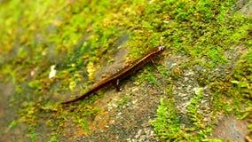 Zuidelijke twee-Gevoerde Salamander Indiana stock videobeelden