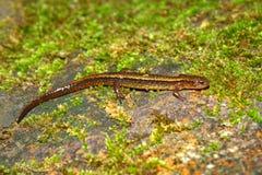 Zuidelijke twee-Gevoerde Salamander Indiana Stock Afbeeldingen