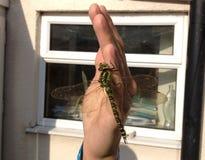 Zuidelijke Venter Dragonfly Perched op Hand Royalty-vrije Stock Afbeeldingen