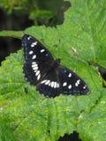 Zuidelijke Witte Admiraal Butterfly Royalty-vrije Stock Fotografie