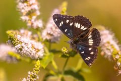 Zuidelijke Witte Admiraal Butterfly die (Limenitis-reducta) voeden Stock Foto's
