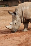 Zuidelijke Witte Rinoceros - Ceratotherium-simum Royalty-vrije Stock Fotografie