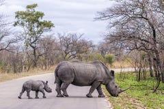 Zuidelijke witte rinoceros in het Nationale park van Kruger, Zuid-Afrika Stock Fotografie