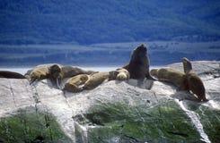 Zuidelijke zeeleeuwen en aalscholvers op rotsen dichtbij Brakkanaal en Bruggeneilanden, Ushuaia, zuidelijk Argentinië Royalty-vrije Stock Fotografie