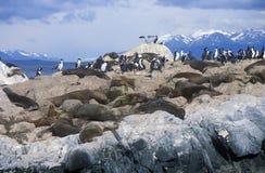 Zuidelijke zeeleeuwen en aalscholvers op rotsen dichtbij Brakkanaal en Bruggeneilanden, Ushuaia, zuidelijk Argentinië Stock Afbeeldingen