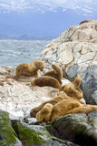 Zuidelijke Zeeleeuwen, Tierra Del Fuego, Ushuaia, Argentinië stock afbeeldingen