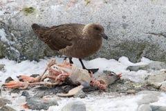 Zuiden Polaire Jager die dode Gentoo-pinguïn eet Royalty-vrije Stock Afbeelding